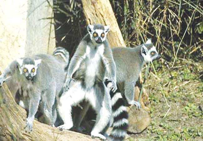 The ring-tailed lemurs live in the primate exhibit and are suggested for students to visit and observe.